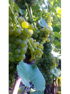 Vyninė vynuogė Solaris (balta)