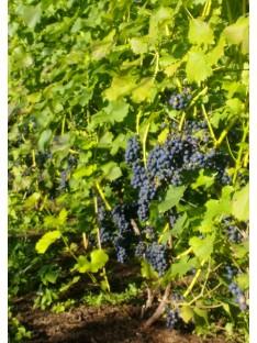 Vyninė vynuogė Regent (raudona)